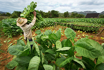 Photo of a worker on a tobacco farm.